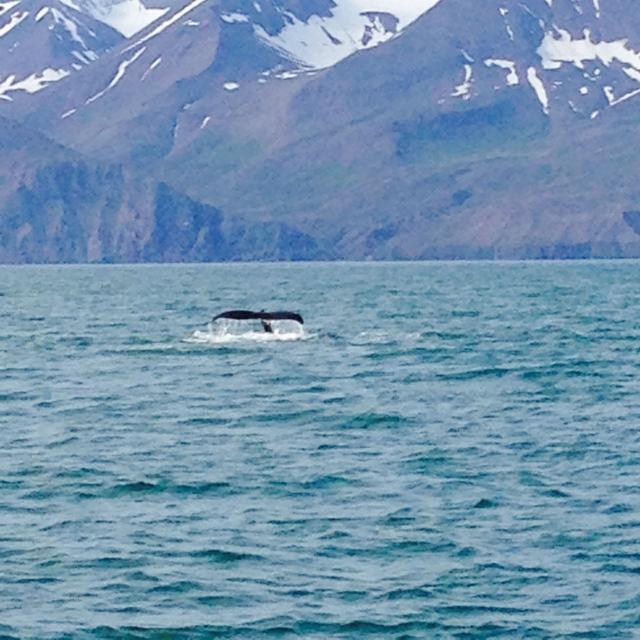 Humpback whales in Husavik