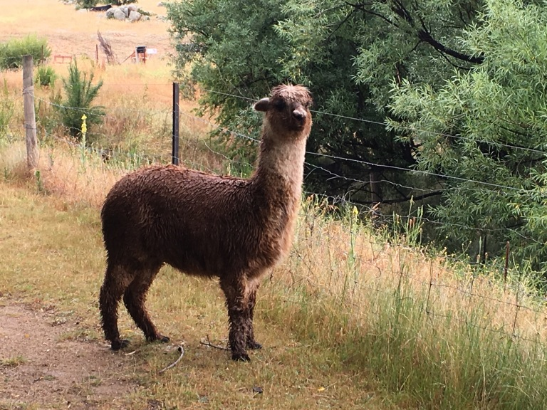 Oh hello Mr Alpaca...please let us past!