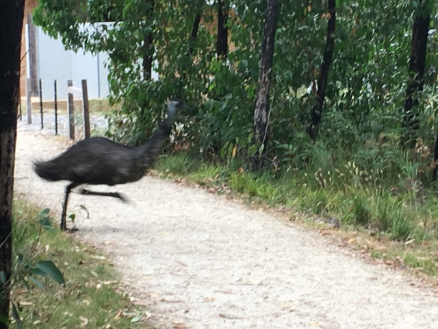 Emu on the run!