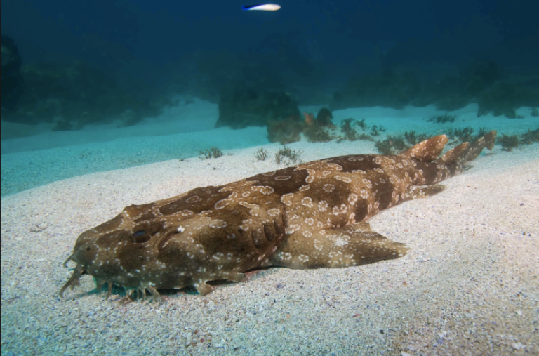 Wobbegong. I like them because they're almost leopard print!